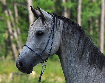 Prodej koní Norik a Shagya Arab